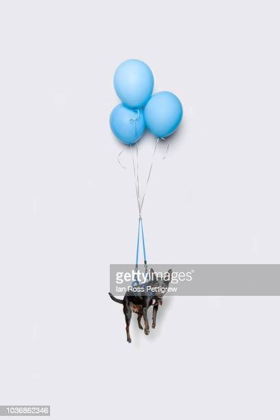 Cute dark dog floating with balloons
