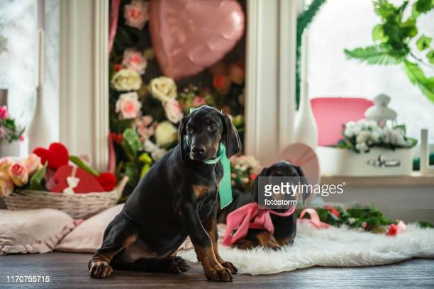 cute doberman puppies relaxing together - doberman stock pictures, royalty-free photos & images