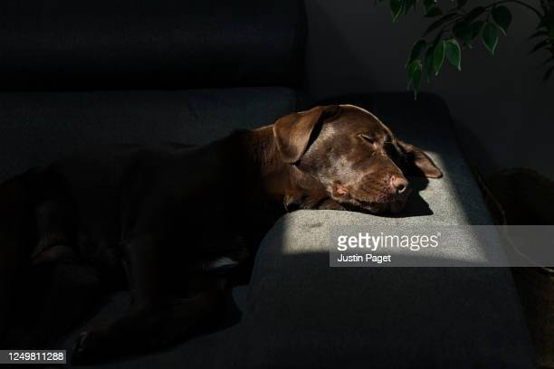 cute dog asleep on the sofa - sunlight stock pictures, royalty-free photos & images