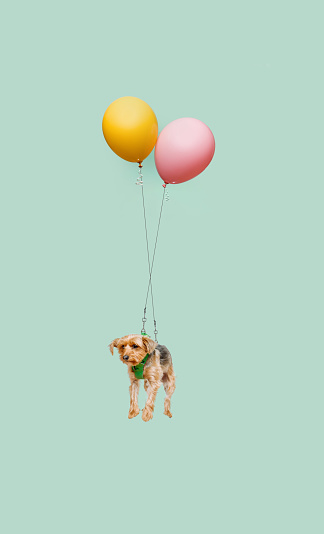 Cute dog floating tied to a balloon - gettyimageskorea