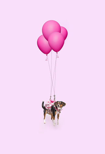 Cute dog floating with pink balloons - gettyimageskorea