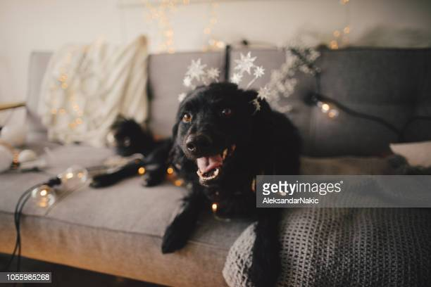 cute dog is ready for christmas - christmas dog stock pictures, royalty-free photos & images