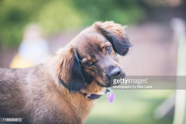 cute dog looking at camera - 首をかしげる ストックフォトと画像