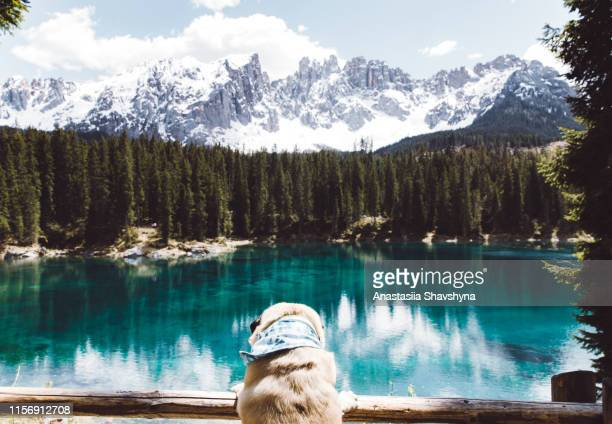 cute dog looking at lago di carezza in dolomites alps - lakeshore stock pictures, royalty-free photos & images