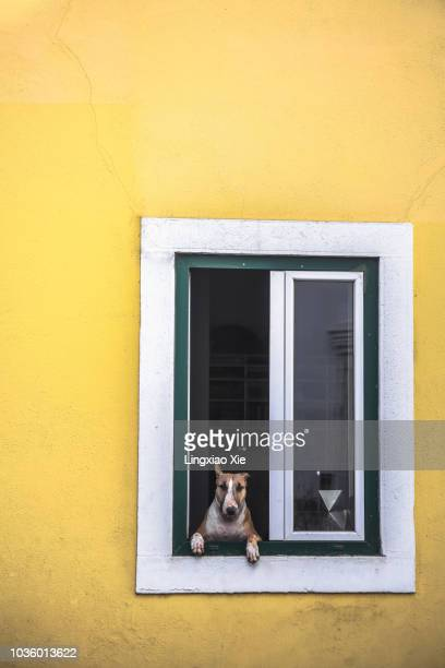 Cute dog looking through local apartment window, Lisbon, Portugal