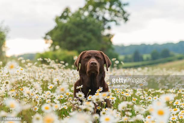 cute dog meditating in field of daisies - 訓練犬 ストックフォトと画像