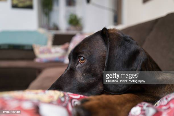 cute dog on couch looking directly at the camera - domestic animals stock pictures, royalty-free photos & images