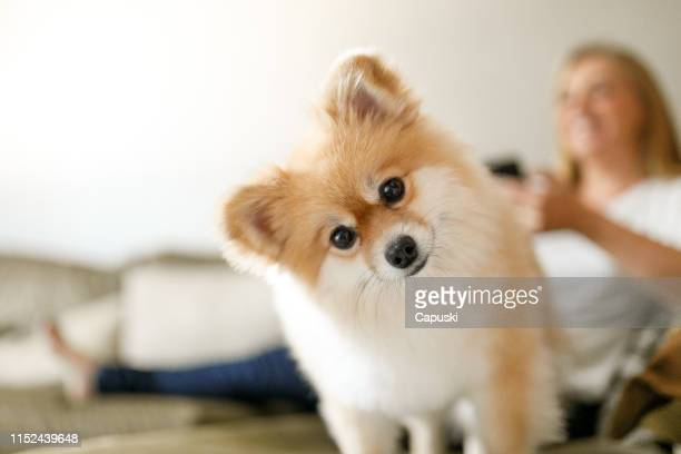 cute dog on sofa with woman on background - domestic animals stock pictures, royalty-free photos & images
