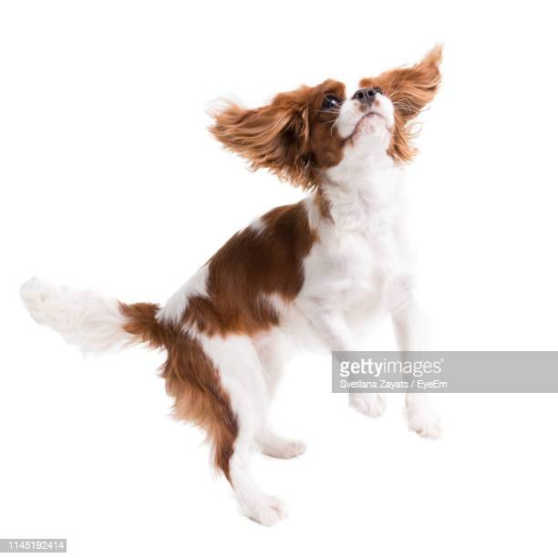 cute dog over jumping over white background - cavalier king charles spaniel stock pictures, royalty-free photos & images