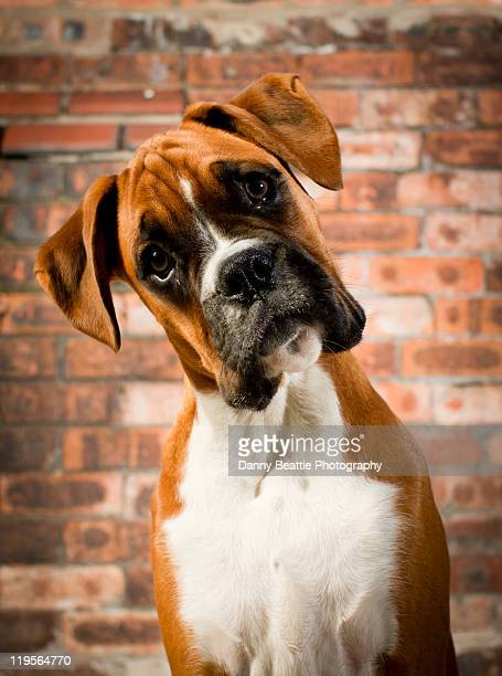 cute dog - head cocked stock pictures, royalty-free photos & images