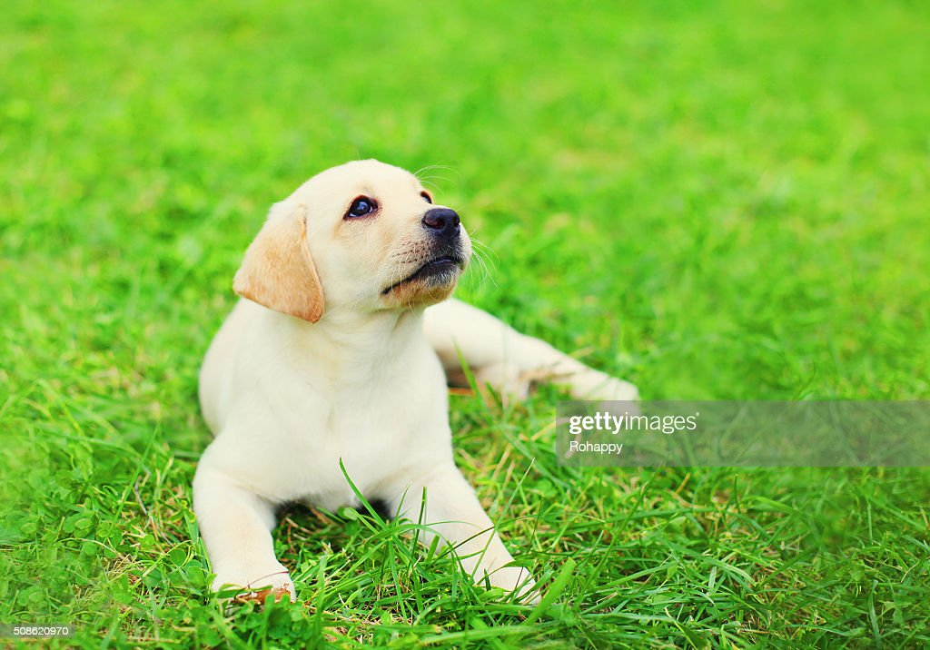 Cute dog puppy Labrador Retriever lying resting on grass : Stock Photo