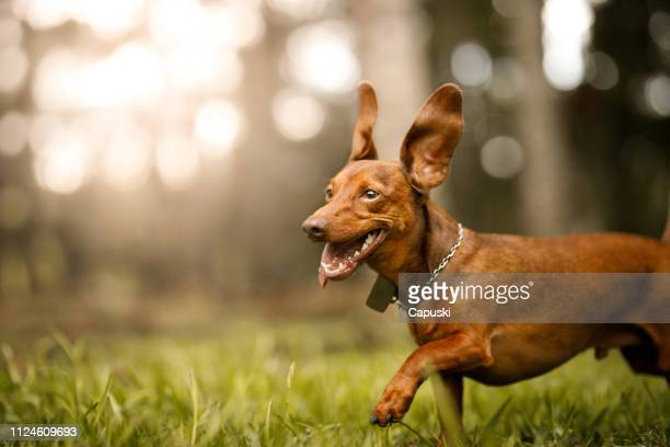 cute dog running outside - dachshund stock pictures, royalty-free photos & images