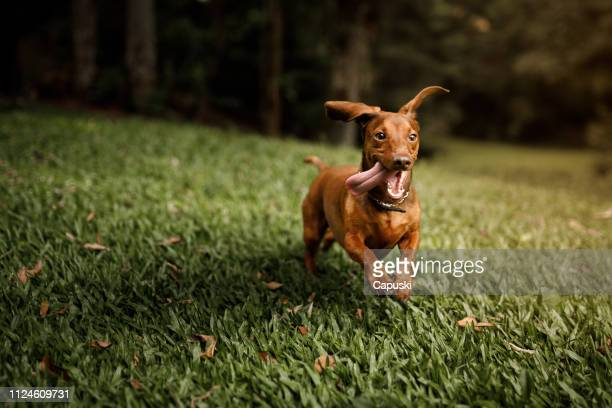 cute dog running outside - one animal stock pictures, royalty-free photos & images