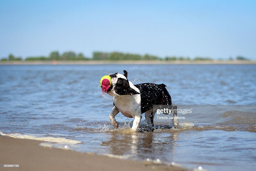 Cute Dog Running Through Water With Ball Stock Photo Getty Images