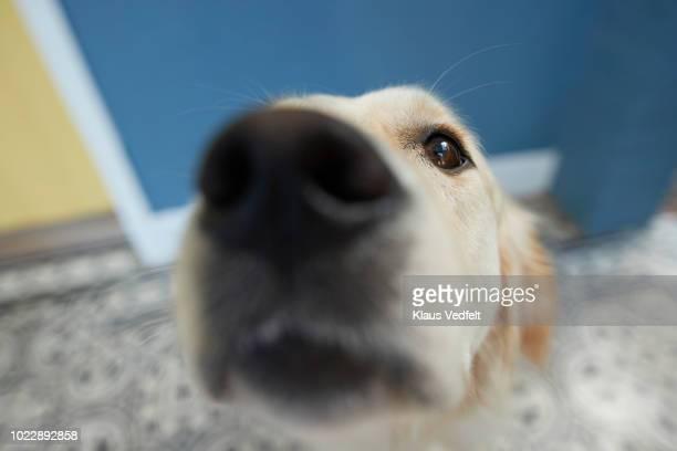 cute dog shot from pov / selfie angle - 嗅ぐ ストックフォトと画像