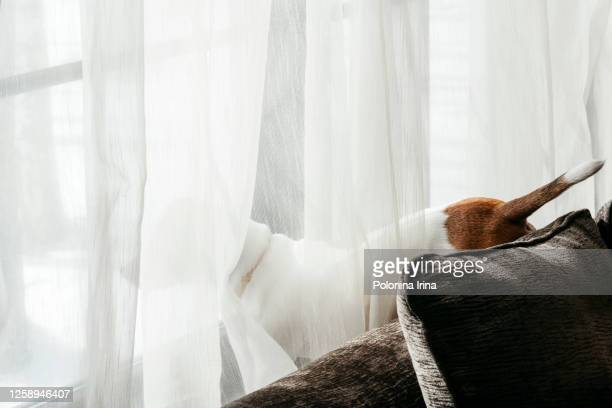 a cute dog sits on the sofa and looks out the window. - jack russell terrier stock pictures, royalty-free photos & images