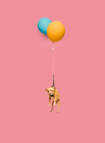 Cute dog tied to a balloon and floating - gettyimageskorea