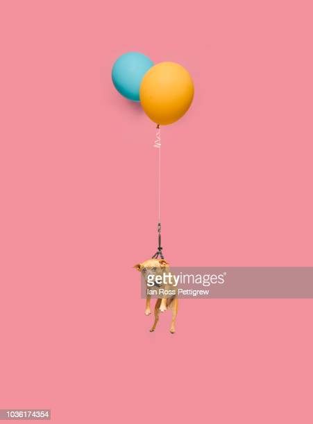 cute dog tied to a balloon and floating - art bildbanksfoton och bilder