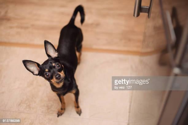 cute dog waiting to be fed - pinscher nano foto e immagini stock