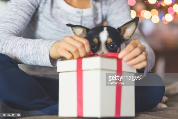 a cute dog watches while his owner opens a christmas present by the tree - gift stock pictures, royalty-free photos & images