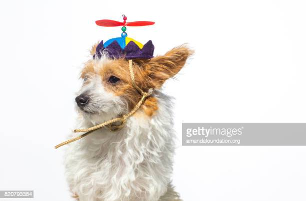 cute dog wearing a propeller hat - the amanda collection - amandafoundationcollection stock pictures, royalty-free photos & images