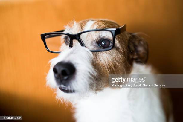 cute dog wearing reading glasses - eye test stock pictures, royalty-free photos & images