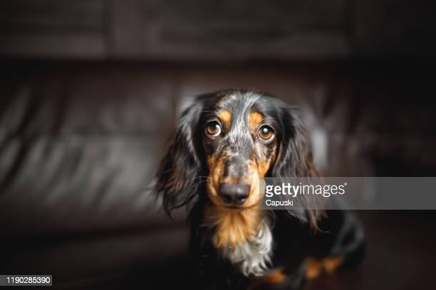 cute dog with big captivating eyes - harlequins stock pictures, royalty-free photos & images