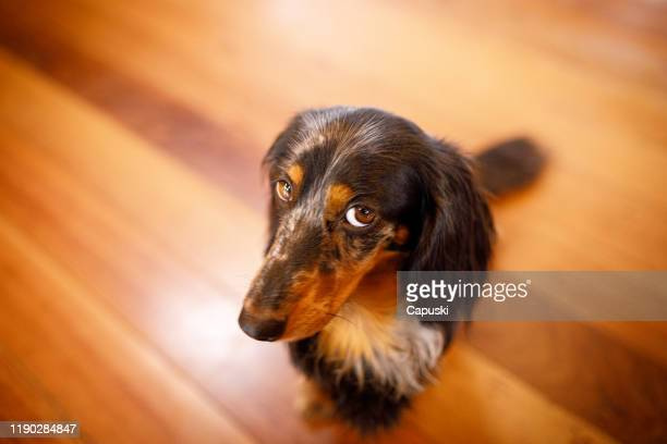 cute dog with guilty face - blame stock pictures, royalty-free photos & images