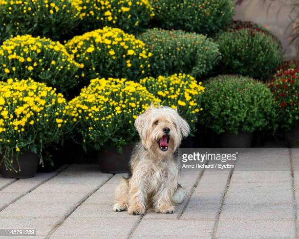 Cute Dog With Mouth Open Sitting On Footpath Against Plants