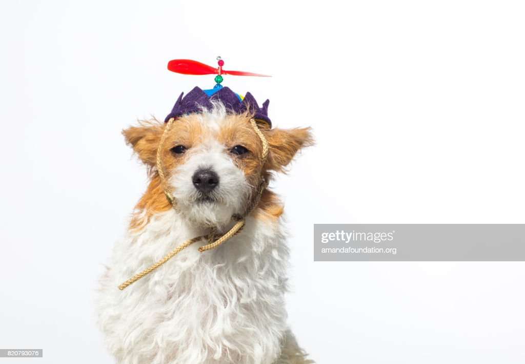 Close-up shot of 'Willow,' a female Jack Russell Terrier wearing a propeller hat looking at the camera on a white background. By using this photo, you are supporting the Amanda Foundation, a nonprofit organization that is dedicated to helping homeless animals find permanent loving homes.