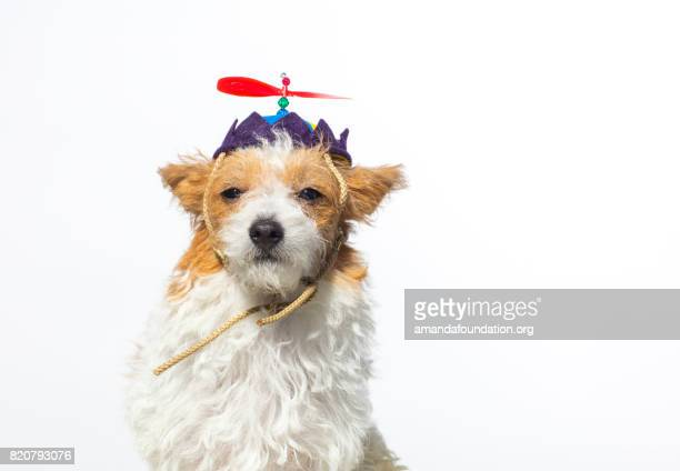 cute dog with propeller hat - the amanda collection - amandafoundationcollection stock pictures, royalty-free photos & images