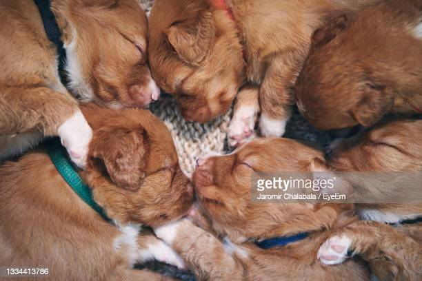 cute dogs sleeping on blanket at home. purebred puppy of nova scotia duck tolling retriever. - nova scotia duck tolling retriever stock pictures, royalty-free photos & images