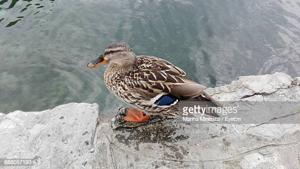 Cute Duck On The Edge Of The Lake