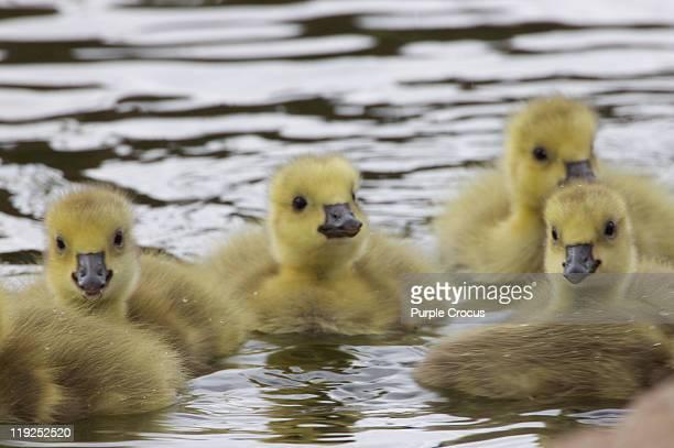 Cute ducklings in water