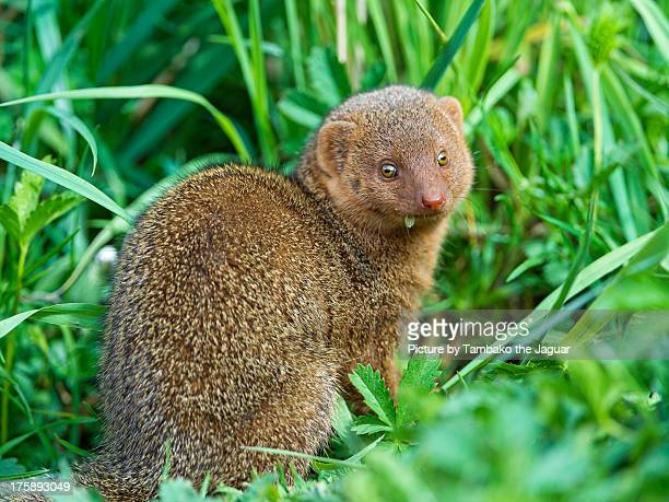 Cute dwarf mongoose in the grass