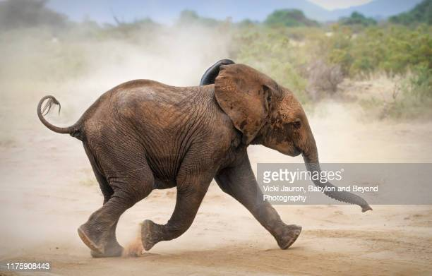 cute elephant calf on the run and kicking up dust at samburu, kenya - beauty in nature stock pictures, royalty-free photos & images