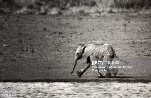 Cute Elephant Calf Walking Along Stream in Laikipia