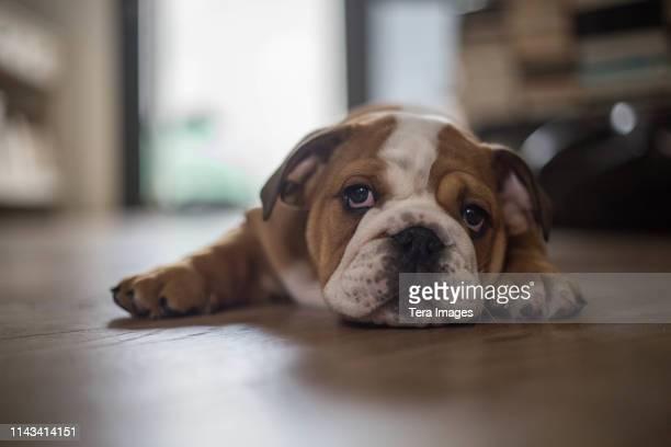 cute english bulldog puppy - english bulldog stock pictures, royalty-free photos & images