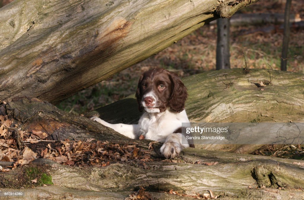 A Cute English Springer Spaniel Puppy Playing On A Fallen Tree In The Woods High Res Stock Photo Getty Images