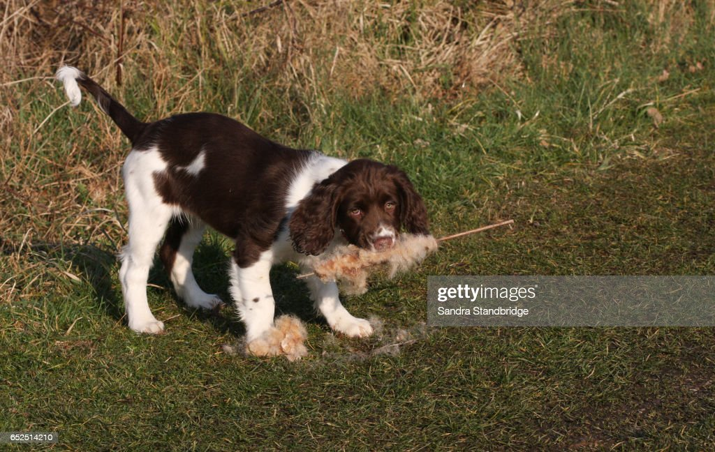 A Cute English Springer Spaniel Puppy Playing With A Bulrush That It Has In Its Mouth High Res Stock Photo Getty Images
