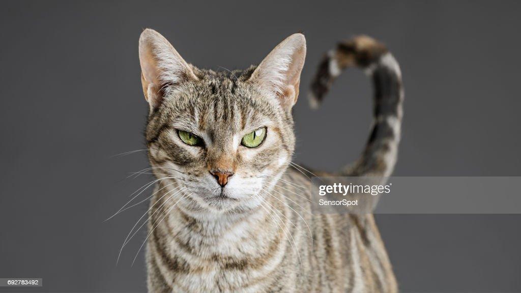 Süße europäische Katze Porträt : Stock-Foto