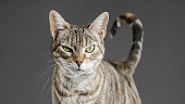 Cute european cat portrait