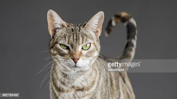 cute european cat portrait - domestic cat stock pictures, royalty-free photos & images