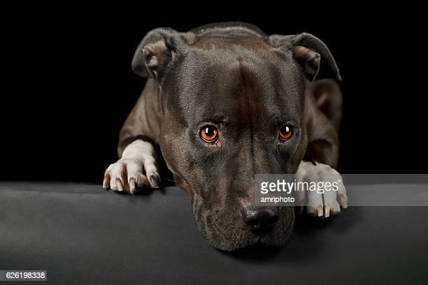 cute face of american stafford dog