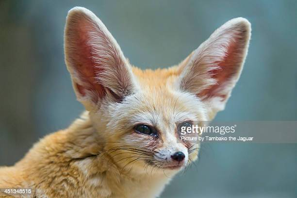 cute fennec portrait - animal ear stock photos and pictures