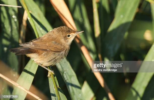 a cute fledgling reed warbler (acrocephalus scirpaceus) perching on a reed in the reed bed. it is waiting for its parents to come back and feed it. - warbler stock pictures, royalty-free photos & images
