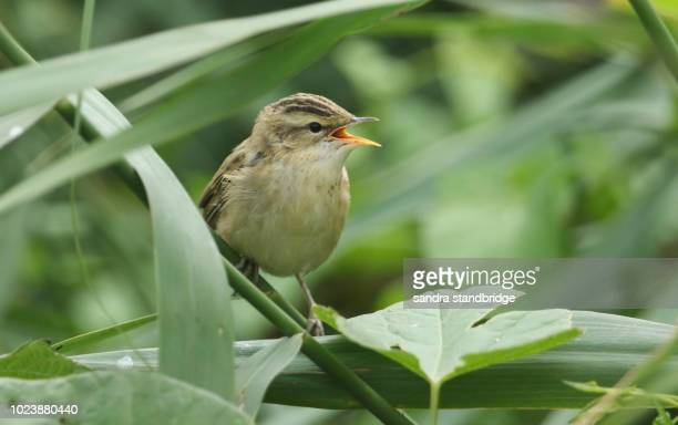 a cute fledgling reed warbler (acrocephalus scirpaceus) perching on a reed in the reed bed with its beak open. it is waiting for its parents to come back and feed it. - warbler stock pictures, royalty-free photos & images