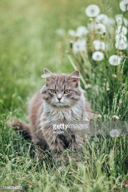 cute fluffy gray cat meadow green grass dandelions - animal hair stock pictures, royalty-free photos & images