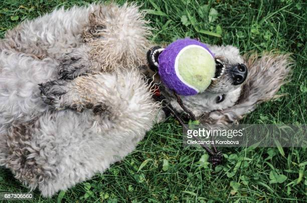 Cute fluffy grey dog playing outside in the grass during the summer.