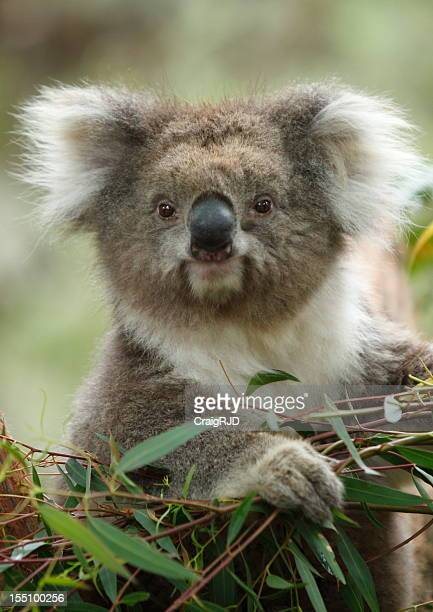Cute fluffy Koala bear eating leaves